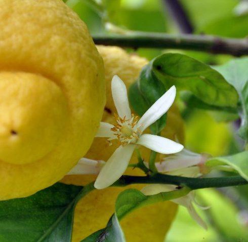 Wo die Zitronen blühen…